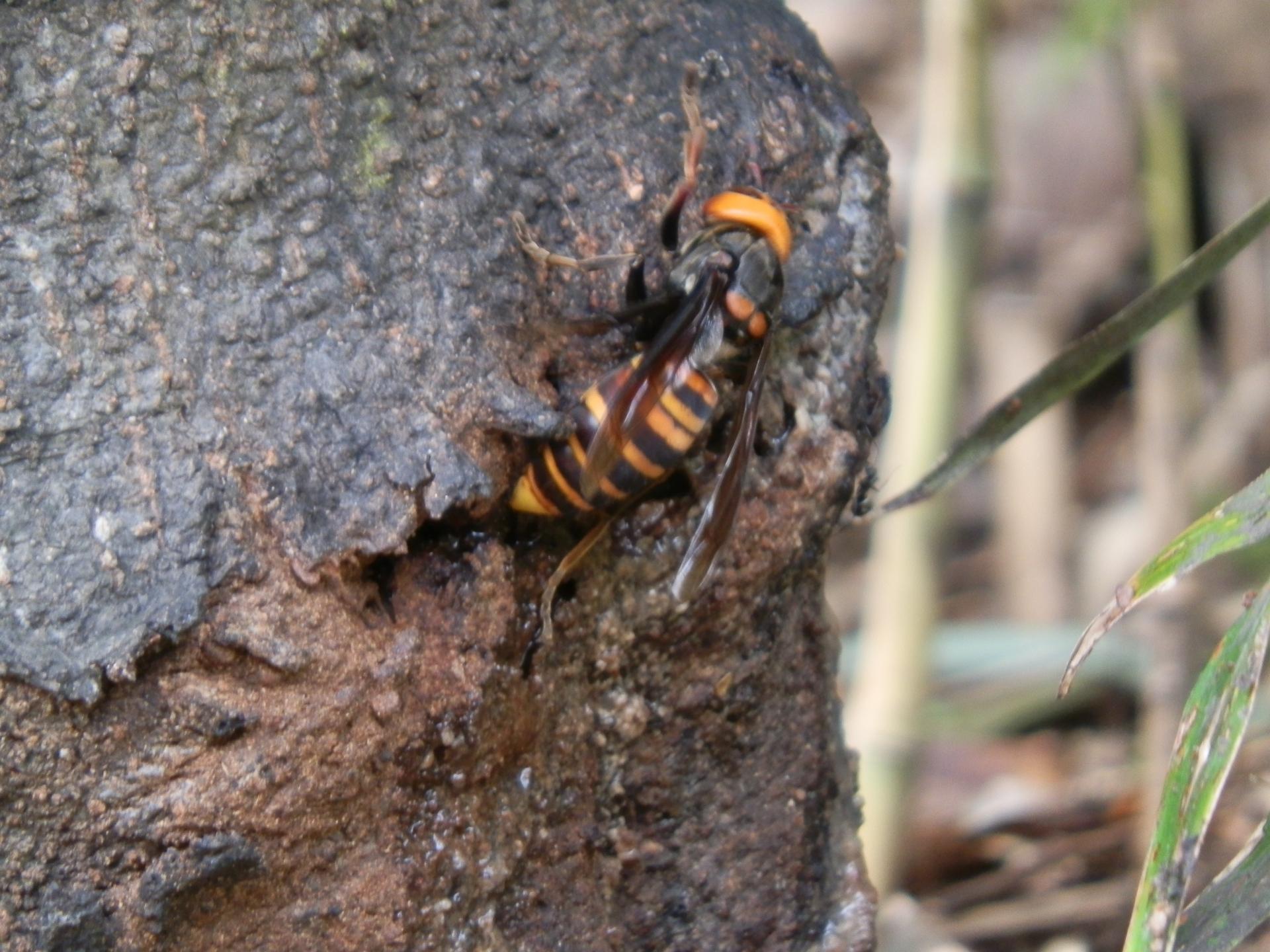スズメバチ、一番危険な季節到来!